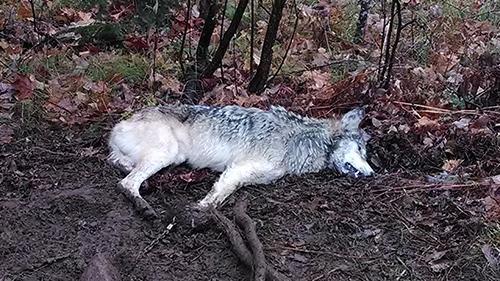 wolf-down.jpg